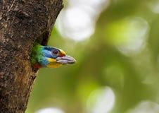 Barbet van Taiwan, Megalaima-nuchalis Royalty-vrije Stock Foto's