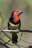 barbeten blackcollared botswana Arkivbilder