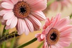 barbeton stokrotki kwiatu gerbera Fotografia Stock