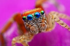 Barbipes de Saitis branchant l'araignée d'Espagne photographie stock libre de droits