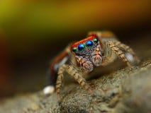 Barbipes de Saitis sautant l'araignée   Photo libre de droits