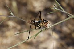 Barbitistes fischeri, Bush cricket from France Stock Image