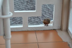 Barble dove on a balcony. A barble dove on a balcony making a visit royalty free stock image
