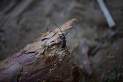 Barbo do besouro na casca Imagem de Stock Royalty Free