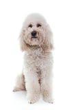 Barboncino bianco che si siede nello studio bianco Fotografia Stock
