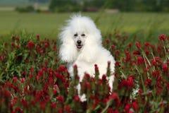 Barboncino bianco piacevole Fotografia Stock Libera da Diritti