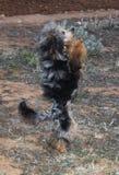 Barboncino del merle raro di colore Fotografia Stock