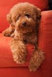 Barboncino di giocattolo che lazing sul sofà Fotografia Stock