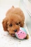 Barboncino di giocattolo a gioco 2 Fotografie Stock