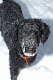 Barboncino nero nella neve fotografie stock libere da diritti