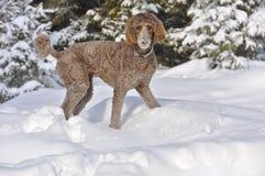 Barboncino standard del Brown che gioca nella neve Fotografia Stock