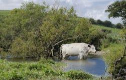 Barbotage de la vache Photographie stock libre de droits