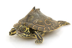 Barbour�s Map Turtle Stock Image