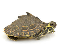 Barbour�s Map Turtle. (Graptemys barbouri) on white background Stock Image