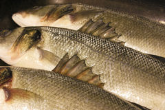 Barbs on the fins of sea bass Royalty Free Stock Images