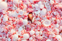 Barbuda pink sand beach. Pink sand beach on Barbuda island in Caribbean made of tiny pink shells, close up photo Royalty Free Stock Images