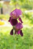 Barbudo púrpura Imagen de archivo