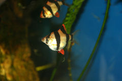 barbus异乎寻常的鱼tetrazona 免版税库存图片