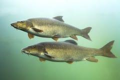 Barbus de Barbus de la barbilla de los pescados de agua dulce subacuático imagen de archivo