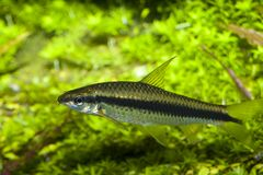 Barbus fish in Aquarium Royalty Free Stock Photos