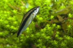 Barbus fish in Aquarium Stock Photos