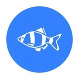 Barbus fish icon black. Singe aquarium fish icon from the sea,ocean life black. Barbus fish icon black. Singe aquarium fish icon from the sea,ocean life black Stock Photo