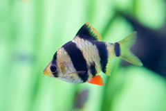 Barbus puntius tetrazona. Aquarium fish barbus puntius tetrazona Royalty Free Stock Photos