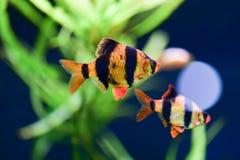 Barbus Sumatran swims in the beautiful Aquarama, background dar royalty free stock photo