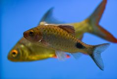 Barbus swims in a clean aquarium background color blue, sky colo royalty free stock image
