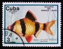Barbus-tetrazona tetrazona, Lenin-Park-Aquarium, Havana, circa 1977 Lizenzfreies Stockbild