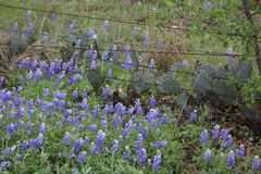 Barbwire, cactus and, Blue Bonnets Stock Photography