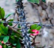 Barbwire i kaktus kwitniemy w backround Zdjęcie Royalty Free