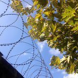 Barbwire and leaves under blue sky Stock Photo