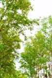 barcelona Испания Деревья в Rambla летом стоковое фото