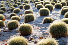 The Barcelona Cactus Garden Royalty Free Stock Photography