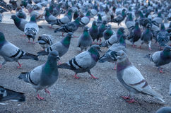 Barcelona giant flock of pigeons. Shot taken at Catalonia Square Placa Catalunya Stock Photography