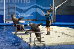 Barcelona sea lions show Stock Photos