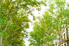 Barcelona, Spain. Trees in the Rambla  in summer. Barcelona, Spain. Trees in the Rambla in the afternoon in summer royalty free stock photography