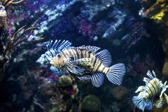 Barcelona Spanien, akvarium för skorpionfisk royaltyfri bild