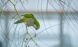 Barcelonian domesticated wildlife - Quaker Parot or Monk Parakeet. Royalty Free Stock Photography