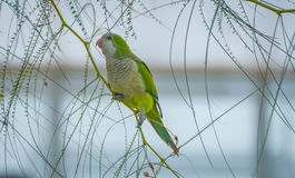 Barcelonian domesticated wildlife - Quaker Parot or Monk Parakeet. Stock Images