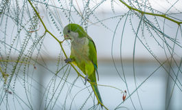 Barcelonian domesticated wildlife - Quaker Parot or Monk Parakeet. Royalty Free Stock Image