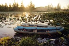 Barche nella palude di Lotus Immagine Stock