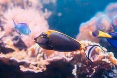 Barcheek unicornfish或小丑特性或被掩没的unicornfish钓鱼naso 免版税库存照片