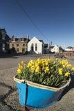 Barco dos narcisos amarelos em Johnshaven na costa de Aberdeenshire fotos de stock