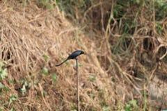 Bard Bangladesh King Bard noir photo libre de droits