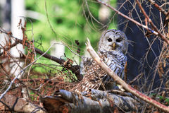 A bard owl resting in under brush looking for food. Stock Photos