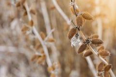 Bardana asciutta con le spine dorsali, vista del cespuglio di tramonto di inverno Fotografia Stock Libera da Diritti