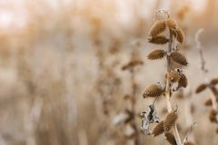 Bardana asciutta con le spine dorsali, vista del cespuglio di tramonto di inverno Fotografia Stock
