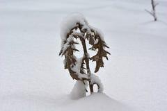 Bardana asciutta coperta di neve lanuginosa Fotografia Stock